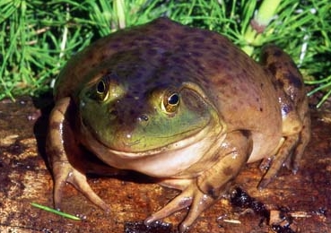 FAT FROG!!! (sorry had to post this ^ ^:: - the atasunta family Image ...