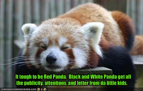 Red Pandas پیپر وال possibly with a lesser panda titled It's Hard Being Red Panda
