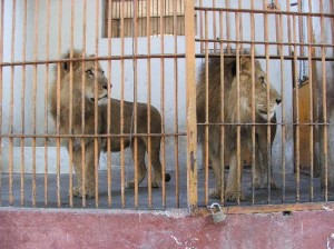 Lions in their tiny cages!