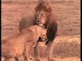 Real Simba and Nala