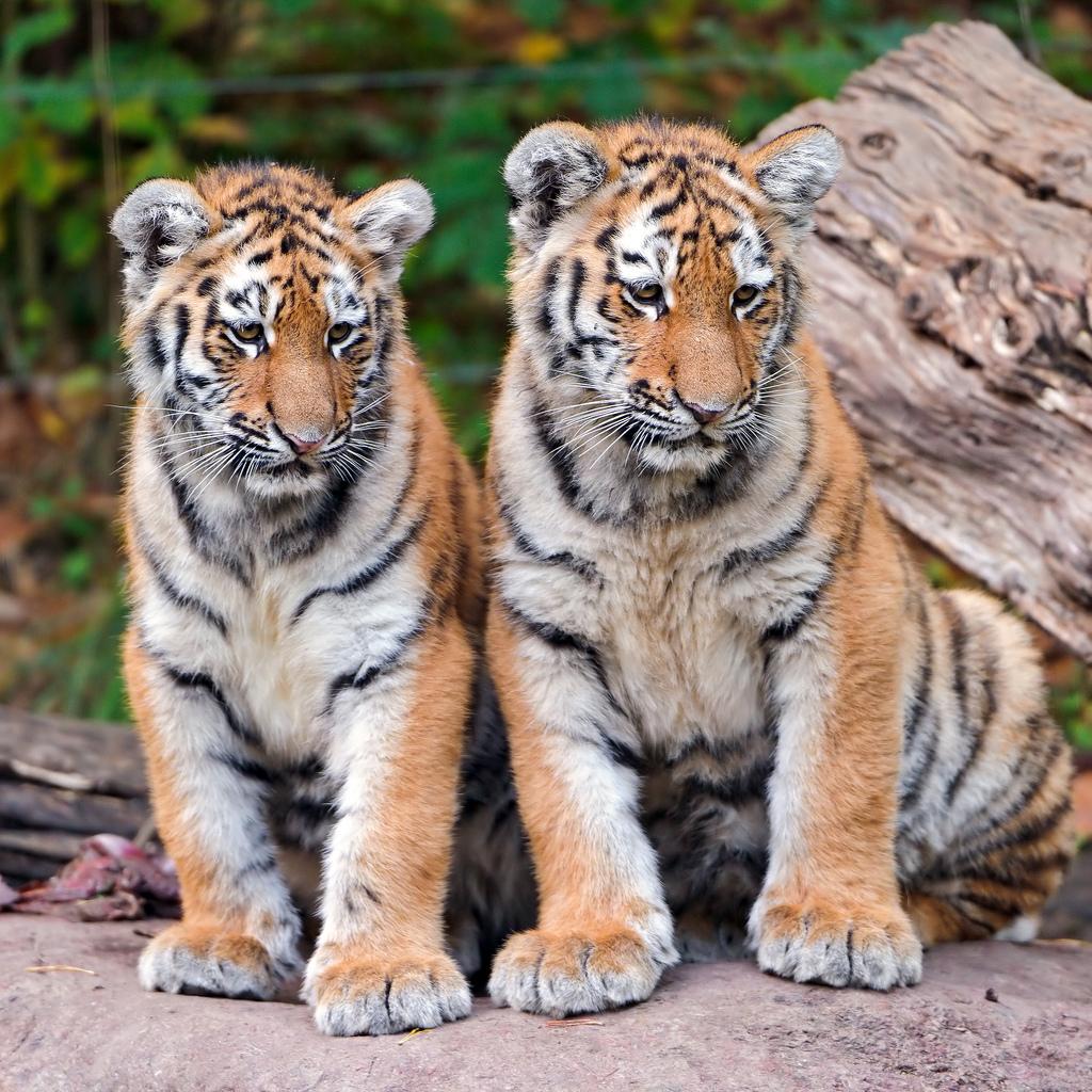 Tiger - Tigers Photo (30651720) - Fanpop