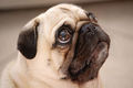 What is he looking at??? - pugs photo