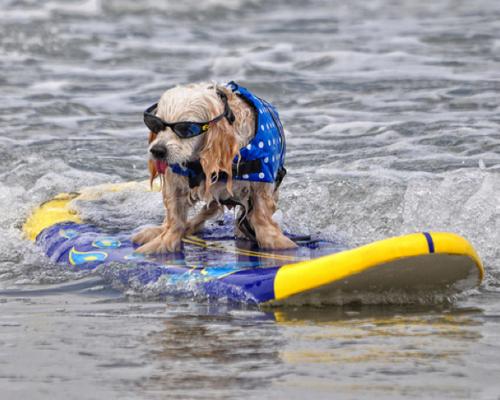A Dog Surfing Animals Photo 30678625 Fanpop
