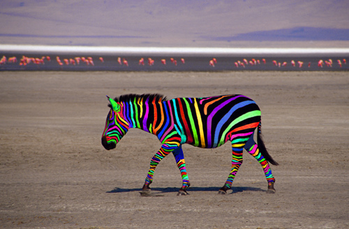 colourful zebra, kuda belang