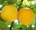 Apricot - food photo