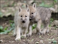 Baby arctic Wolves - wolves photo