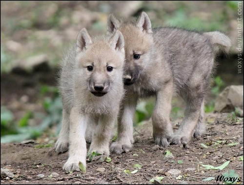 Baby arctic Wolves