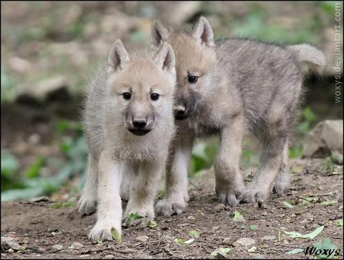 Baby arctic lobos