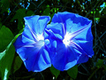 Blue Morning Glory - blue photo