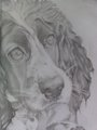 Cocker Spaniel Drawing - cocker-spaniels fan art