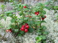 Cowberry - food photo