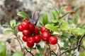 Cowberry - fruit photo