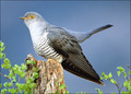 Cuckoo - animals photo
