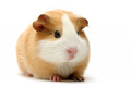 Guinea Pig - guinea-pigs photo