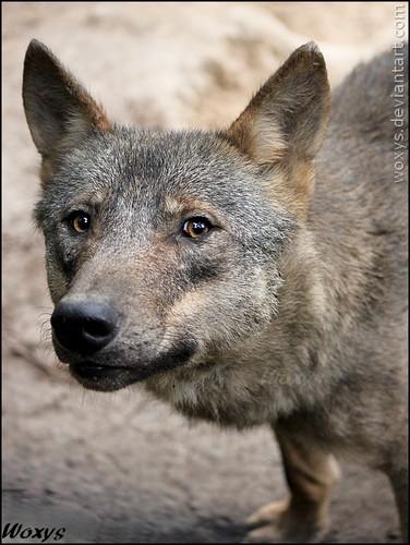 Iberian serigala