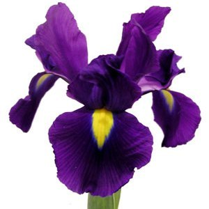 Flowers wallpaper containing a beardless iris, a hippeastrum, and a garden nasturtium called Iris