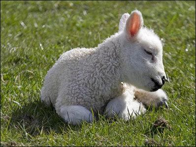 Lamb - Animals Photo (30710602) - Fanpop
