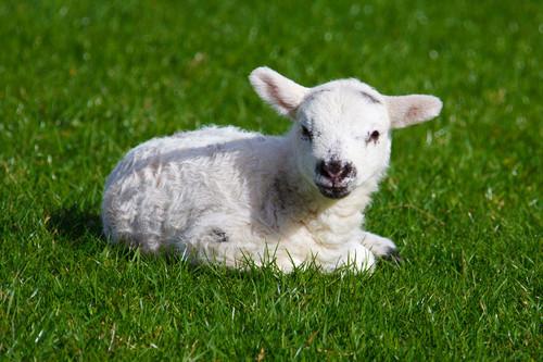 मेमना, भेड़ का बच्चा