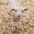 Lamb - sheep photo