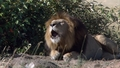 Lion roaring - lions photo