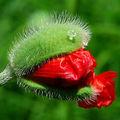 apiun, poppy