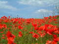 Poppy - flowers photo