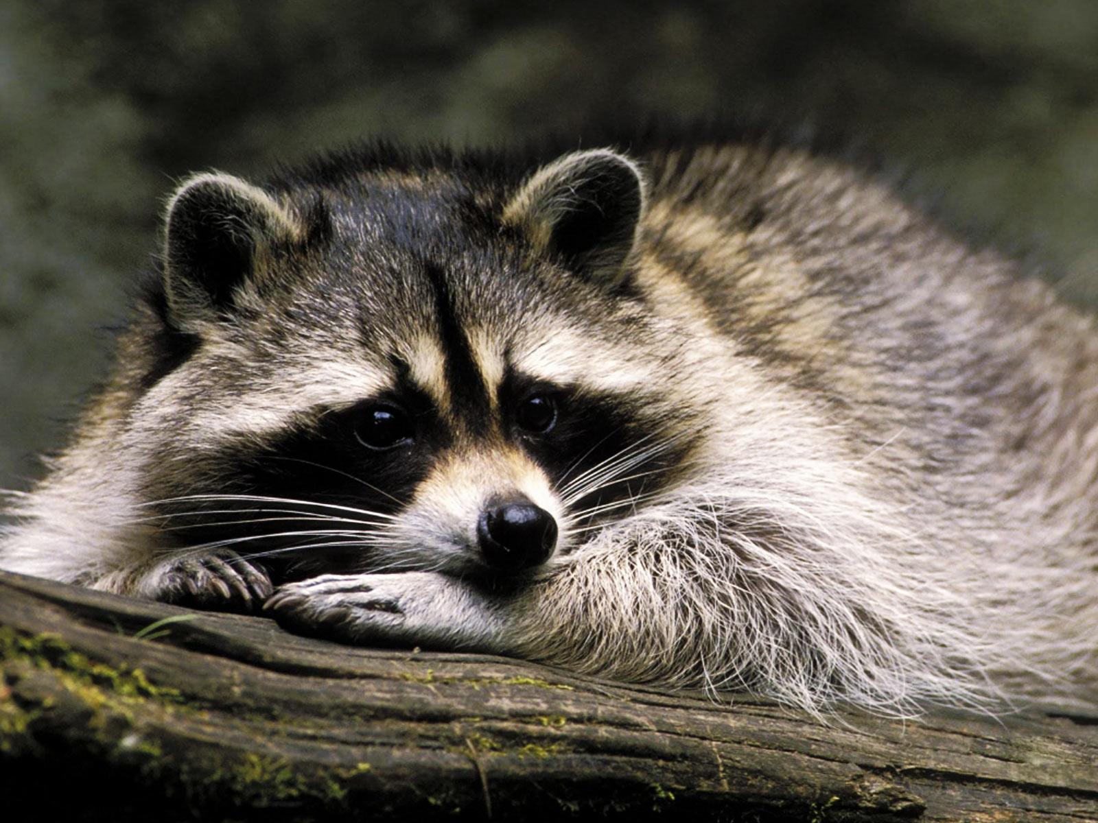 raccoon animals photo 30710854 fanpop
