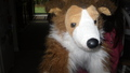 Ritired Collie (Rose)