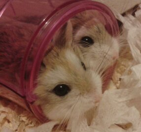 Roborovski Hamster - animals Photo