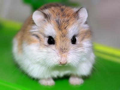 Roborovski chuột đồng, hamster