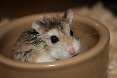 Hamsters wallpaper titled Roborovski Hamster