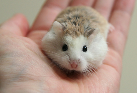 Hamsters wallpaper probably containing a hamster titled Roborovski Hamster