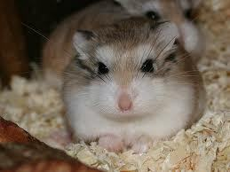 Hamsters wallpaper possibly containing a hamster called Roborovski Hamster