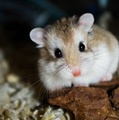 Roborovski Hamster - hamsters photo