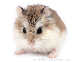 Hamsters wallpaper possibly with a hamster entitled Roborovski Hamster
