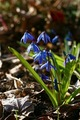 Siberian Squill - blue photo