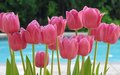 Tulips - pink-color photo