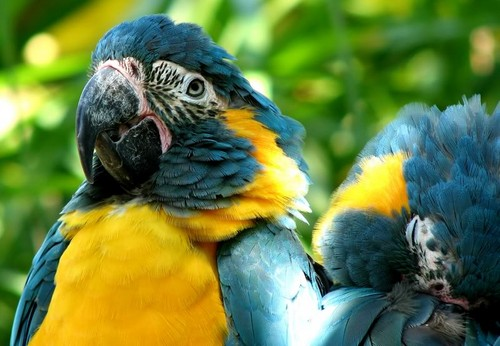 2 Blue Throated macaws (rare)