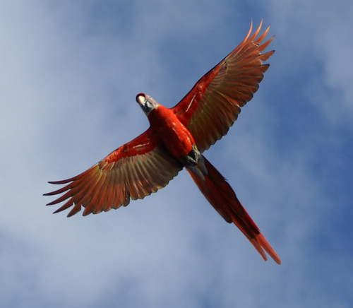 Scarlet ara in flight