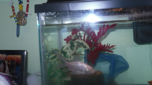 my मछली