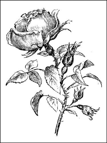 A single rose..
