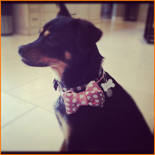 Ariana's dog wearing a bow - victorious Photo