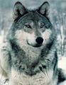 Close up - wolves photo