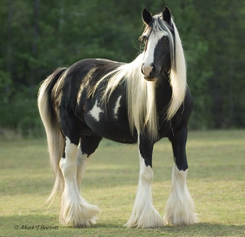 Horses wallpaper with a lippizan titled Gypsy Vanner