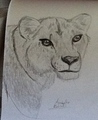 My lioness drawing
