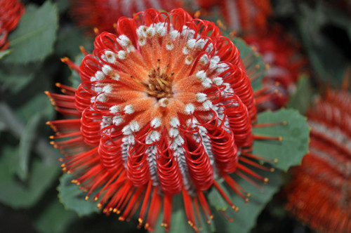 Red Banksia Hookeriana flor