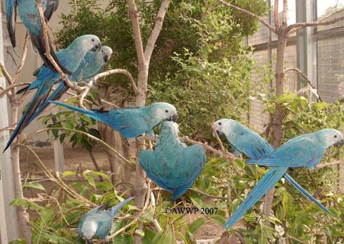 Spix macaws