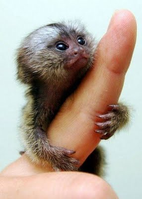 cutest finger monkey - monkeys Photo