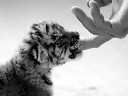 lolz tiger
