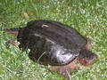 A Turtle I Spotted, May 2012